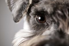 Portrait of an adorable miniature schnauzer. Studio shot, isolated on grey stock photo