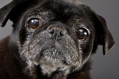 Portrait of an adorable Mops or Pug Royalty Free Stock Image