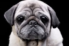 Portrait of an adorable Mops or Pug Stock Images