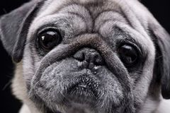 Portrait of an adorable Mops or Pug Stock Photos
