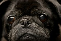 Portrait of an adorable Mops or Pug Royalty Free Stock Photos