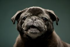 Portrait of an adorable Mops or Pug Royalty Free Stock Photography