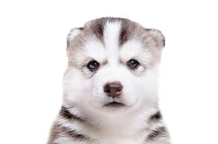 Portrait of  adorable puppy breed Husky Stock Photography