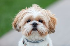 Portrait of a adorable Shih-Tzu dog. Looking at camera stock photos