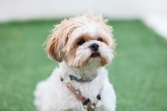 Portrait of a adorable Shih-Tzu dog Royalty Free Stock Photos