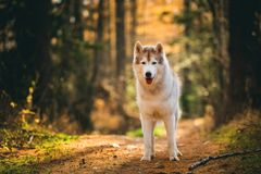 Portrait of adorable Siberian Husky dog standing in the bright enchanting golden fall forest. Portrait of gorgeous and free Siberian Husky dog standing in the royalty free stock image