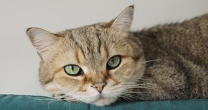 Portrait of adorable tabby pet cat lying on couch, closup view.