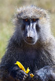 Portrait of an adult baboon Stock Photography