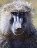 Portrait of an adult baboon Stock Photos