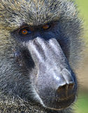 Portrait of an adult baboon Royalty Free Stock Image