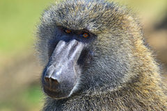Portrait of an adult baboon Stock Image
