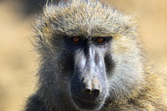 Portrait of an adult baboon Royalty Free Stock Images