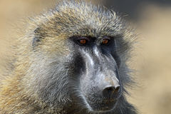 Portrait of an adult baboon Royalty Free Stock Photography