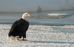 Portrait of an  Adult Bald Eagle Stock Images