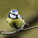 A portrait of an adult Blue Tit (Parus caeruleus) perching alertly on a tree branch. Stock Photos