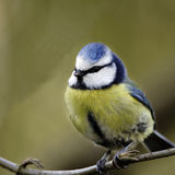 A portrait of an adult Blue Tit (Parus caeruleus). Stock Photo
