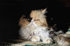 Portrait of an adult cat of the Persian breed in a contrast dayl. Ight. Low key. Horizontal format. Indoors. Color. Photo Royalty Free Stock Image