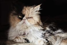 Portrait of an adult cat of the Persian breed in a contrast dayl. Ight. Low key. Horizontal format. Indoors. Color. Photo Royalty Free Stock Images