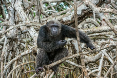 Portrait of an adult chimpanzee (Pan troglodytes)  in branches of mangrove trees. Stock Image