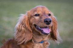 Portrait of adult cockapoo Stock Images