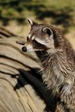 Portrait of adult common raccoon, standing and looking stock photos