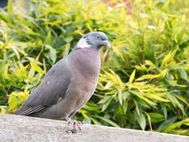 Portrait of adult common wood pigeon, Columba palumbus, perching Stock Photo