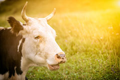 Portrait of an adult cow royalty free stock photos