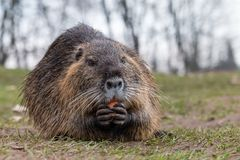 Portrait of adult coypu eating carrot royalty free stock image