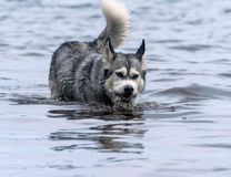 Portrait of an adult dog breed alaskan malamute . in water in the lake. Portrait of an adult dog breed alaskan malamute, fluffy, wet and dirty, walk outdoors wet Royalty Free Stock Image