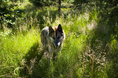 Portrait of an adult dog on the nature. Mixed Shepherd and Husky Stock Image