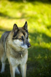 Portrait of an adult dog on the nature. Mixed Shepherd and Husky Royalty Free Stock Photos