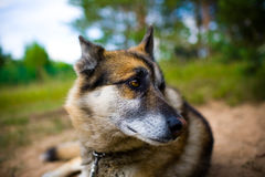 Portrait of an adult dog on the nature. Mixed Shepherd and Husky Stock Photography
