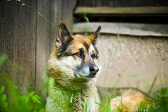Portrait of an adult dog on the nature. Mixed Shepherd and Husky Stock Images