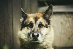 Portrait of an adult dog on the nature. Mixed Shepherd and Husky Royalty Free Stock Photo