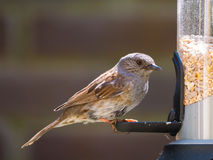 Portrait of adult dunnock on birdfeeder. Portrait of adult dunnock, Prunella modularis, sitting and looking before eating from tube birdfeeder with seeds Royalty Free Stock Photography