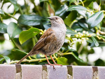 Portrait of adult dunnock or hedge accentor, Prunella modularis. Perching on brick wall in garden Royalty Free Stock Image