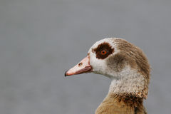 Portrait of an adult Egytian goose Royalty Free Stock Photography