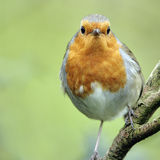 A portrait of an adult European Robin (Erithacus rubecula). Royalty Free Stock Photo