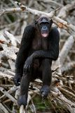 Portrait of the adult female of a chimpanzee. Stock Photos