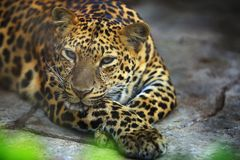 Portrait of Adult Female Leopard is resting stock image