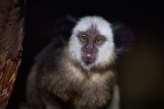 Portrait of adult female white-headed marmoset Callithrix geoffroyi. Photography of nature and wildlife stock images