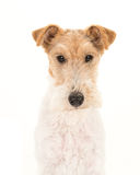Portrait of an adult fox terrier dog Stock Photos