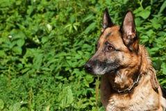 Portrait of an adult German Shepherd. Outdoor Stock Image