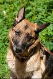 Portrait of an adult German Shepherd Stock Photos