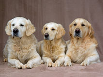 Portrait of adult Golden Retrievers Royalty Free Stock Photos