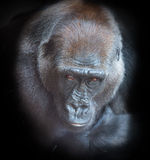 Portrait of an adult gorilla Stock Images