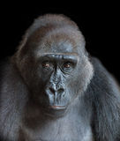 Portrait of an adult gorilla Royalty Free Stock Photos