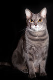 Portrait of an adult gray cat Stock Images