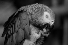 Portrait of adult grey parrot Stock Photo