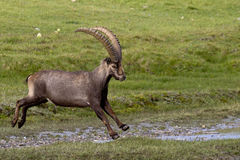 Portrait of adult ibex in the Alps. Adult male ibex in Gran Paradiso Park Stock Photos